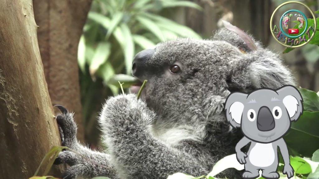 koala hayvanları tanıyalım